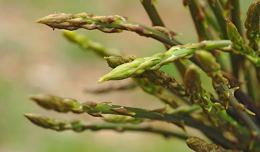 Un Vegetale afrodisiaco – Inizia la raccolta dell'Asparago pungente